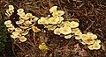 Fungus 3-07 - geograph.org.uk - 549799.jpg