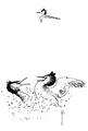 Fuut Podiceps cristatus Jos Zwarts 7.tif
