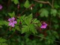 Géranium Herbe à Robert-29-04-2014b.jpg