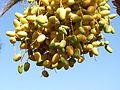 GENESIS 1-11 - Fruit (Dates) (5151784983).jpg