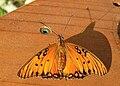 GWH Fritillary and Shadow2.jpg