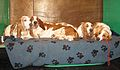 Gaggle of basset hounds resting (8652876302).jpg