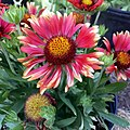 Gaillardia-arizona-red-shades-IMG 0341.jpg