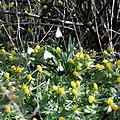 Galanthus nivalis-IMG 3952.jpg