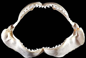 Tiger shark - Image: Galeocerdo cuvier jaws