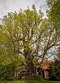 Gamla eken i Bälinge.jpg