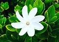Gardenia Tahitensis Tiare Tahiti.jpg