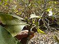 Gardenia gummifera (2253210744).jpg