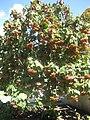 Gardenology.org-IMG 1986 hunt0903.jpg