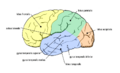 Gehirn lobi seitlich.png