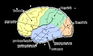Deutsch: Gehirn lateral, Lobi