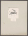 Gelasimus tetragonon - - Print - Iconographia Zoologica - Special Collections University of Amsterdam - UBAINV0274 094 02 0002.tif