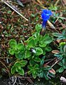 Gentiana orbicularis 1.jpg
