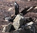 Gentoo Penguin Chick scared shitless by Brown Skuas (5751771702).jpg