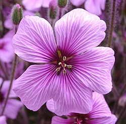 meaning of geranium