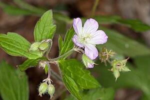 English: Wild Geranium (Geranium maculatum) in...