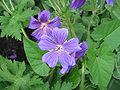Geranium magnificum04.jpg