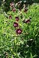 Geranium phaeum Botanicki vrt PMF 2 080509.jpg