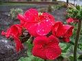 Geraniums, Omagh - geograph.org.uk - 597794.jpg