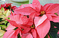 Gfp-poinsettia-plant.jpg