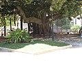 Giant Ficus tree, Parque de Canalejas, Alicante, 16 July 2016.JPG