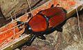 Giant Malayan Weevil (Macrochirus praetor) (8748002090).jpg
