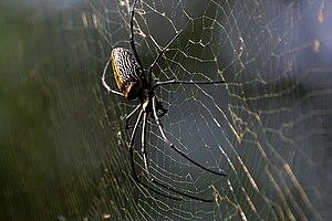 English: Giant Wood Spider Nephila pilipes at ...