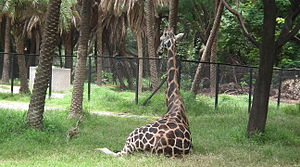 Giraffa camelopardalis from Nehru Zoological park Hyderabad 4364.JPG