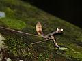 Giraffe Mantis (Euchomenella heteroptera) female (15475309780).jpg