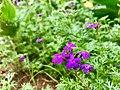 Glandularia Flowers on Kailasagiri.jpg