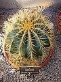 Glaucous barrel cactus - Ferocactus glaucenses.jpg