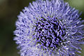 Globularia bisnagarica route-ailly-sur-meuse 55 07042007 5.jpg