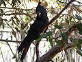 Glossy Black Cockatoo (Calyptorhynchus lathami).jpg