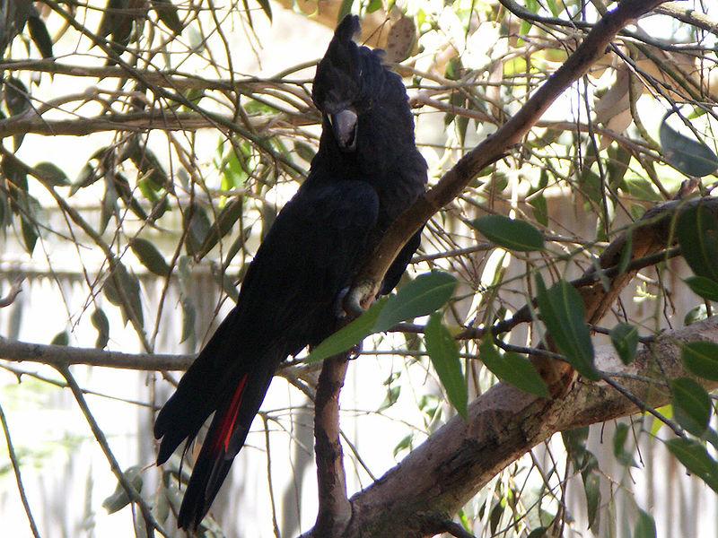 File:Glossy Black Cockatoo (Calyptorhynchus lathami).jpg
