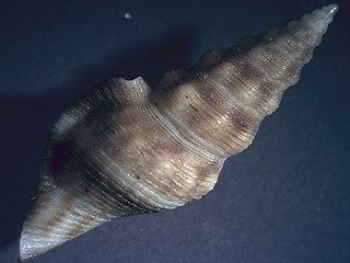 <i>Glyphostoma</i> genus of molluscs