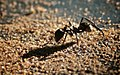 Gold Ant (2687658692).jpg