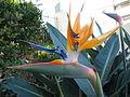 Gold Coast Paradiesvogelblume.JPG