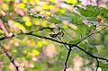 Gold Winged Warbler (9715763605).jpg