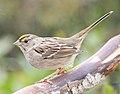 Golden-crowned Sparrow 7527vv.jpg