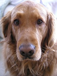 Golden Retriever close up.jpg