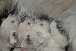 Zogen van jonge hondjes (Golden retriever)