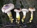 Gomphidius oregonensis 408132.jpg