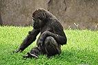 Gorilla-bioparc-valencia-2012.jpg
