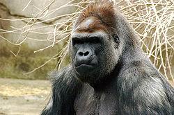 Gorilla 019