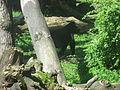 Gorilla gorilla in Burgers' Zoo (Park) (1).JPG