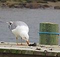 Gråtrut European Herring Gull (13042057894).jpg