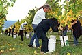 Grape harvest Stefano Lubiana Wines Tasmania vintage 2010.jpg