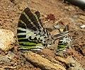 Graphium antiphates - Five-bar Swordtail 13.jpg