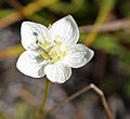 Grass-of-Parnassus Parnassia californica flower detail.jpg
