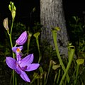 Grass-pink Orchid (Calopogon sp. (oklahomensis or tuberosus)), photographed on 1 May 2020, Tyler County, Texas, USA, by William L. Farr.jpg